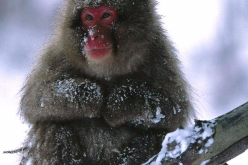 Related to Funny Snow Monkey 4K Wallpaper