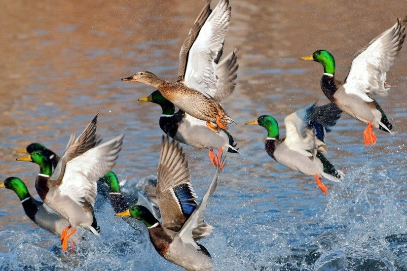 ... mallard pic - Full HD Wallpapers, Photos by Caswell Jacobson (2017 . ...