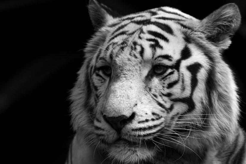 Animals white tiger monochrome wallpaper | 2560x1600 | 12053 | WallpaperUP