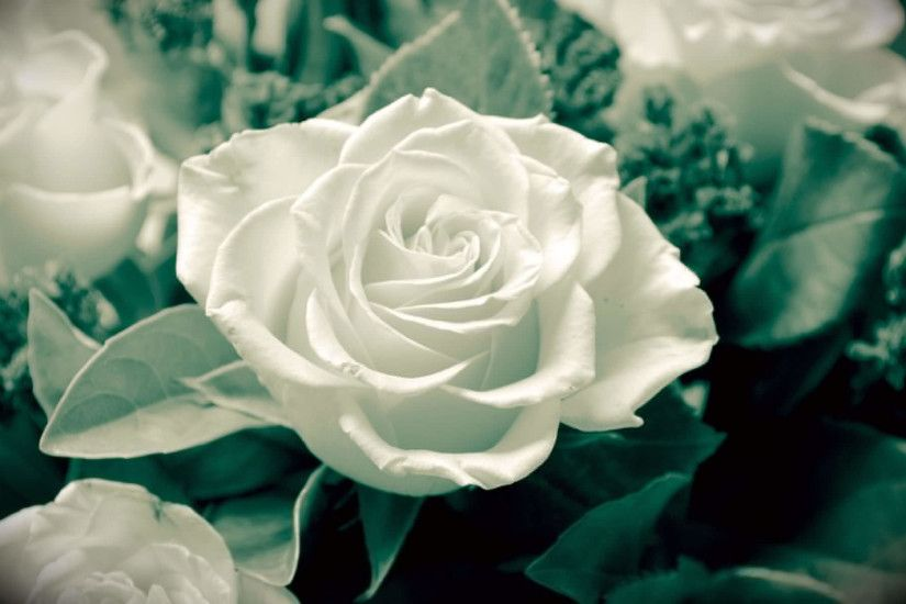 Pretty White Rose Background