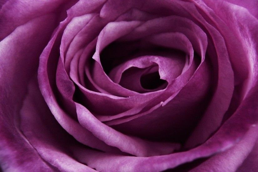big purple rose close up wallpapers and images - wallpapers, pictures .