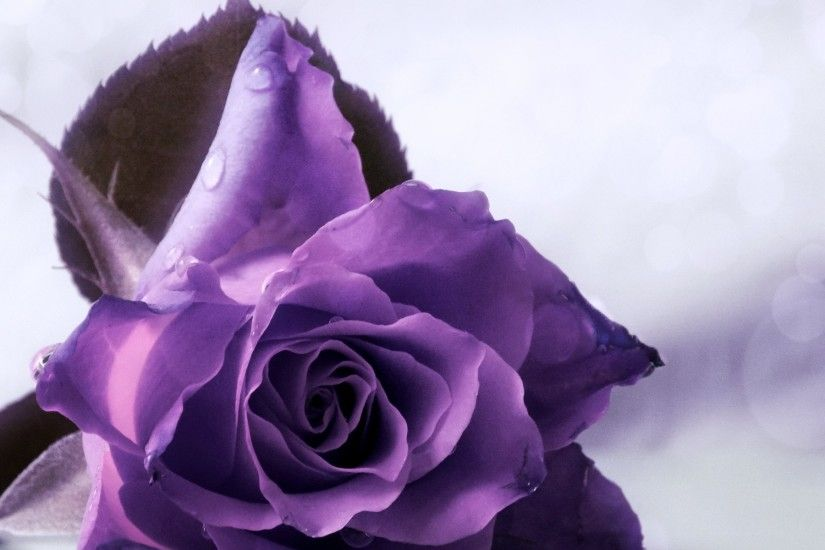 1920x1200 Purple Rose Backgrounds