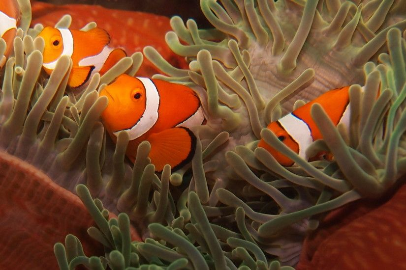 Clown Fish Family Wallpaper Wallpaper