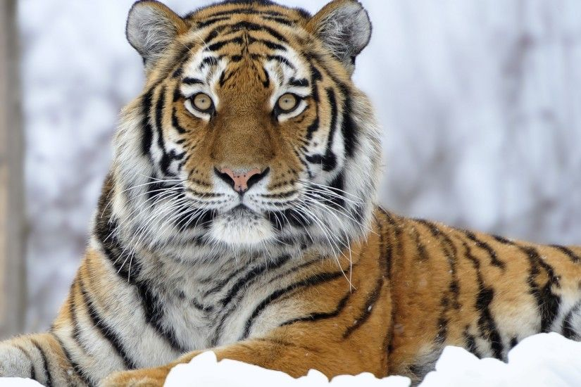 Siberian tiger wallpaper pictures