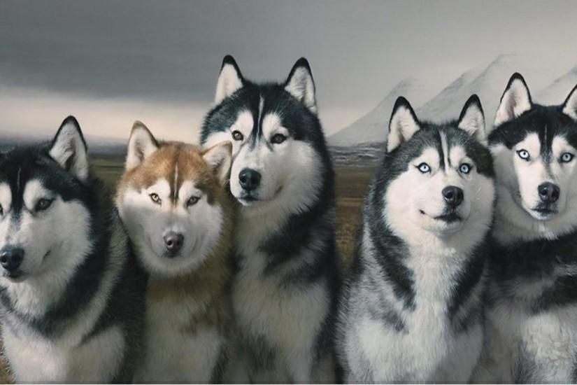 Husky Wallpaper ·① Download Free Stunning Wallpapers For