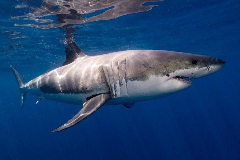 HD white shark wallpaper