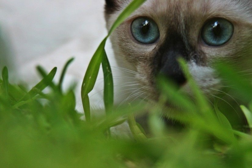 Blue-Eyed-Siamese-Cat-Wallpaper