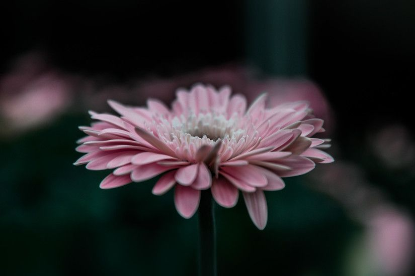 387 0: Flower Pink Calm Nature Bokeh iPad wallpaper