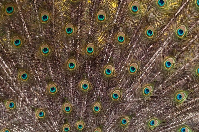 peacock-bird-feathers-wallpaper-11