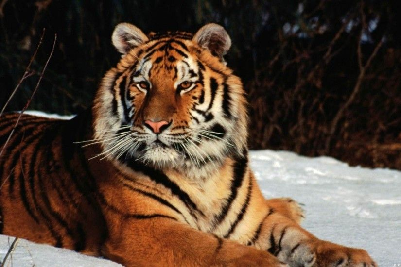 Winter, Tiger, Wild, Cat, Images, High Resolution Images, Desktop Images,  Samsung Wallpaper, Desktop Images For Mac, Widescreen, Hd, Digital,  Artwork, ...