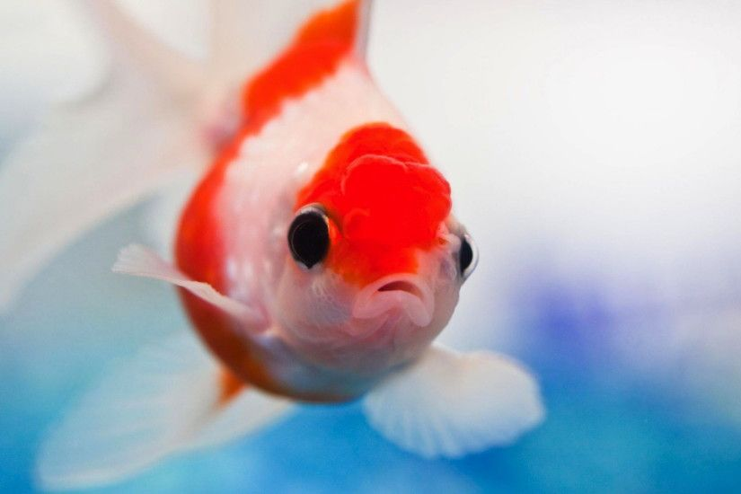 Animal - Goldfish Animal Fish Wallpaper