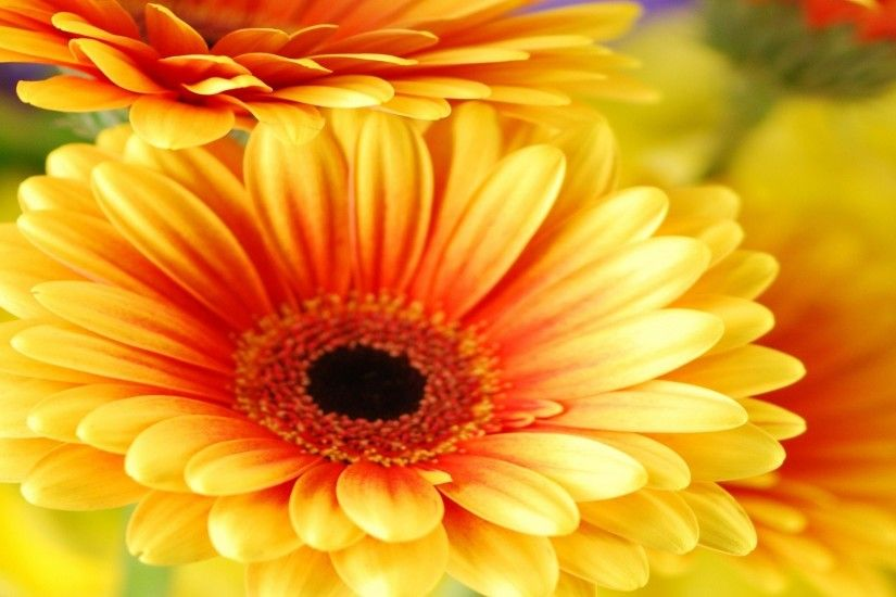1920x1080 Gerbera Daisy Flowers Cute Wallpapers Free Download Cute  Wallpapers ..., #12