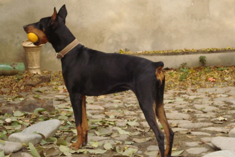 DOBERMAN images doberman. her name is JENI HD wallpaper and background  photos