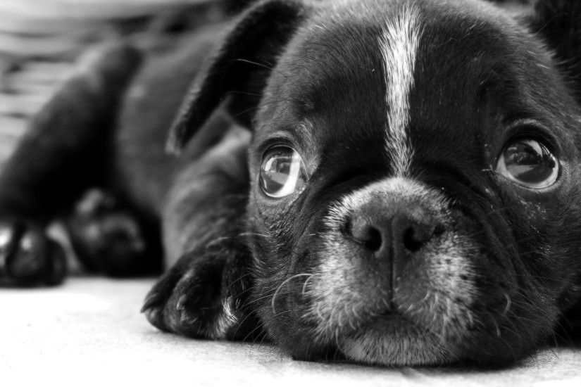 Black And White Dog Wallpapers High Definition