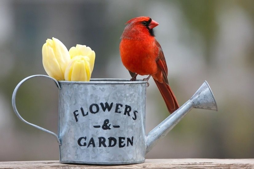 Wallpaper buds, Red Cardinal, bird, watering can, bokeh, tulips,  background, flowers, theme animals - download Wallpapers and Desktop  Backgrounds