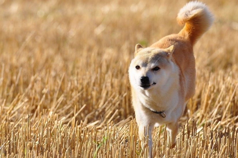 Shiba Inu walking on the fied HD desktop wallpaper : Widescreen .