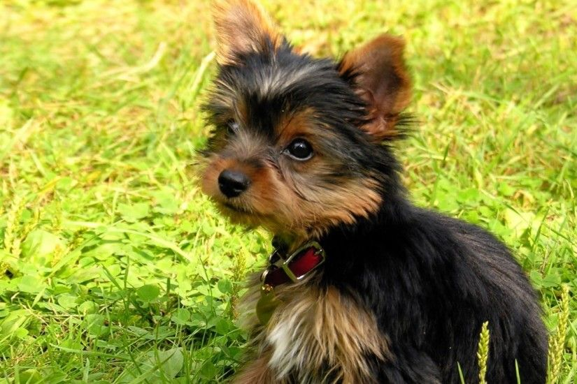 2048x2048 Wallpaper yorkshire terrier, puppy, baby, dog, grass