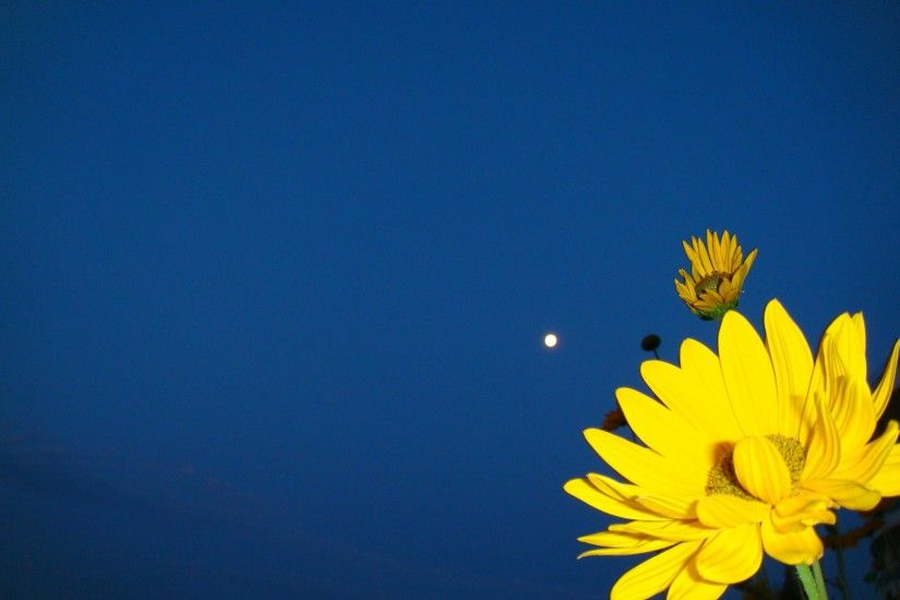 Yellow flower on a dark blue background