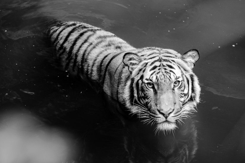 White Tiger Wallpapers Mobile
