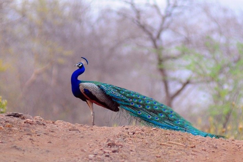 Peacock Flying Bird Wallpaper-7