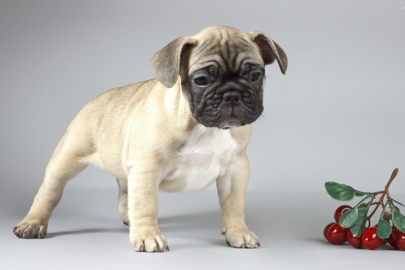 Cute sad pug puppy wallpaper