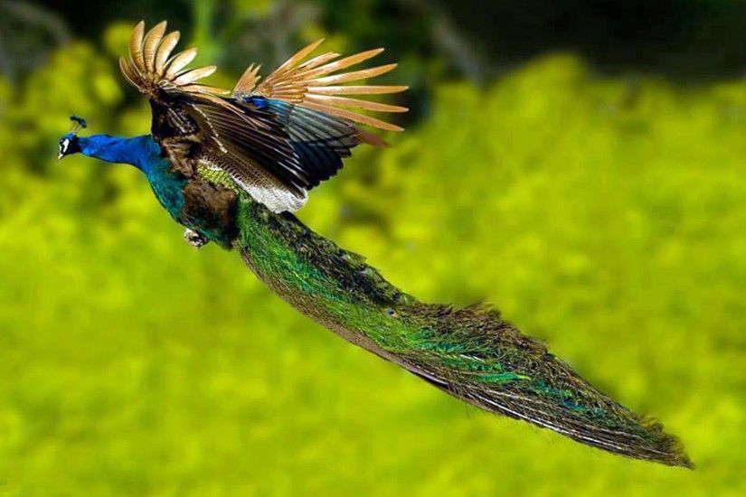peacock-flying-bird-wallpaper-6