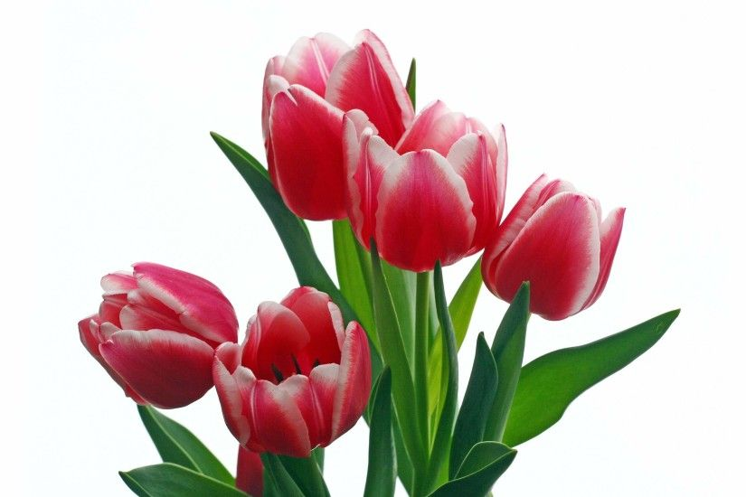 Flowers For Single Red Tulip Flowers