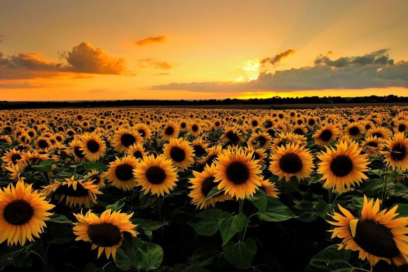 Sunflowers Field HD Desktop Wallpaper | HD Desktop Wallpaper