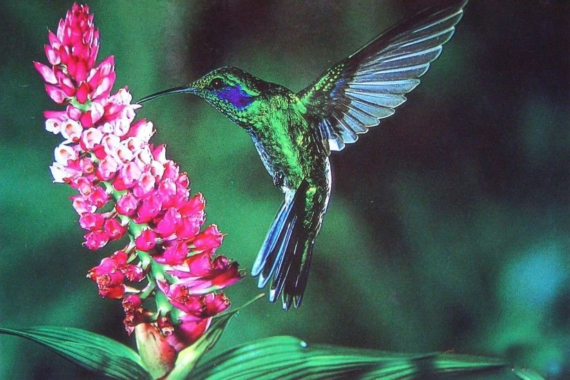 Explore More Wallpapers in the Hummingbird Subcategory!