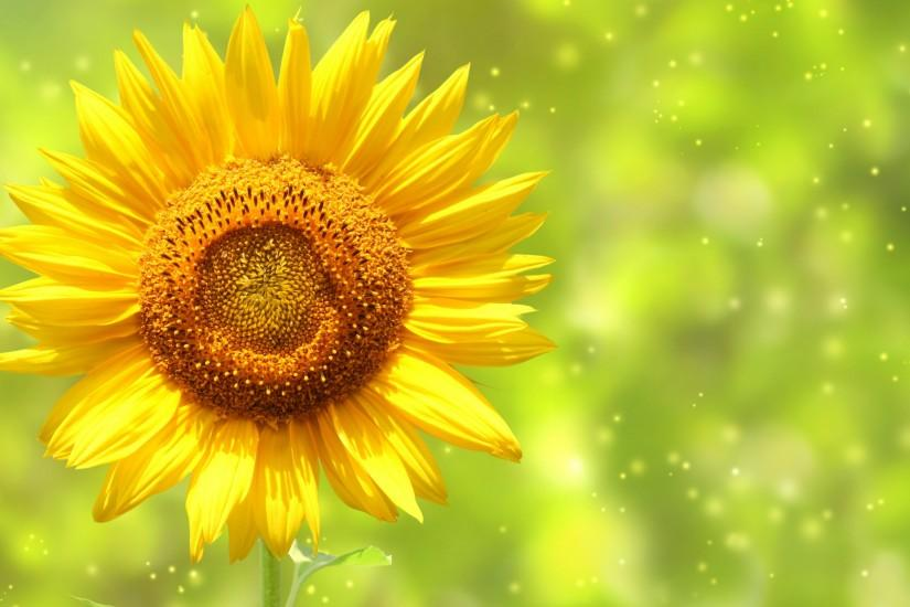 free sunflower wallpaper 2560x1600 retina