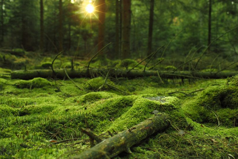 Mossy forest HD wallpaper. Download ...