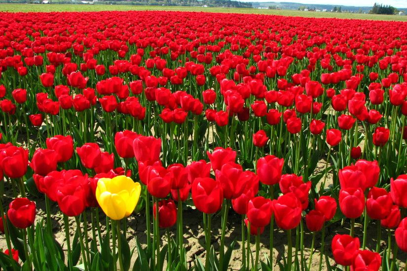 File:Single yellow tulip in a field of red tulips.JPG