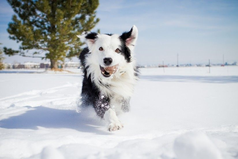 2048x1365 Free computer border collie