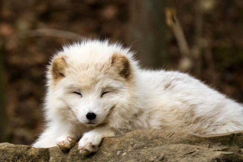 nature, Animals, Baby Animals, Fox, Arctic Fox Wallpapers HD / Desktop and  Mobile Backgrounds