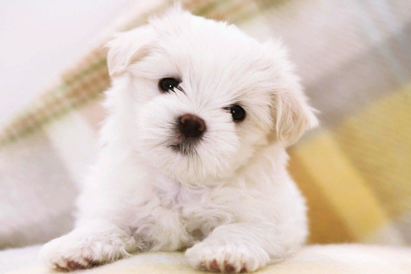wallpaper.wiki-Images-for-Cute-Puppies-Wallpaper-PIC-