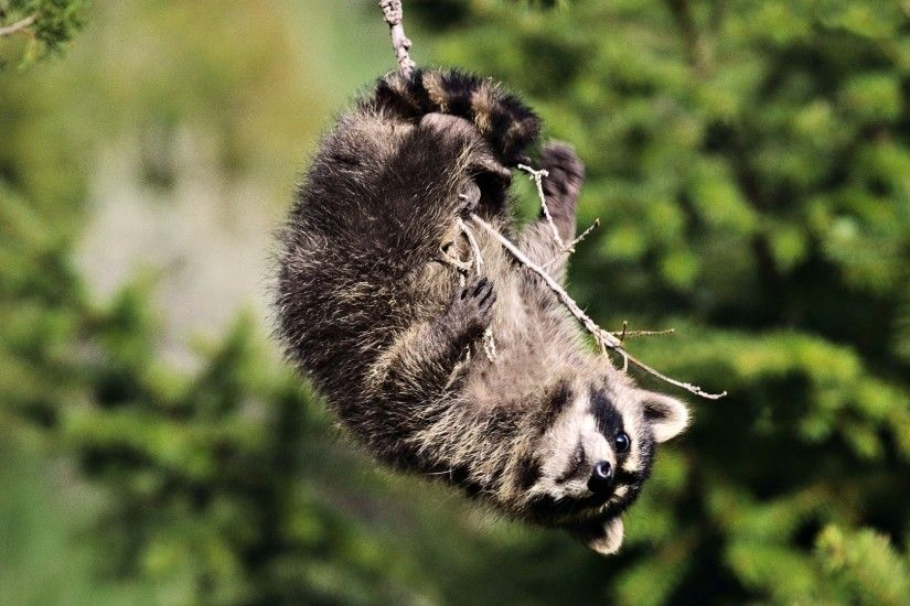 1920x1080 Wallpaper blurred background, snout, branch, raccoon, paws