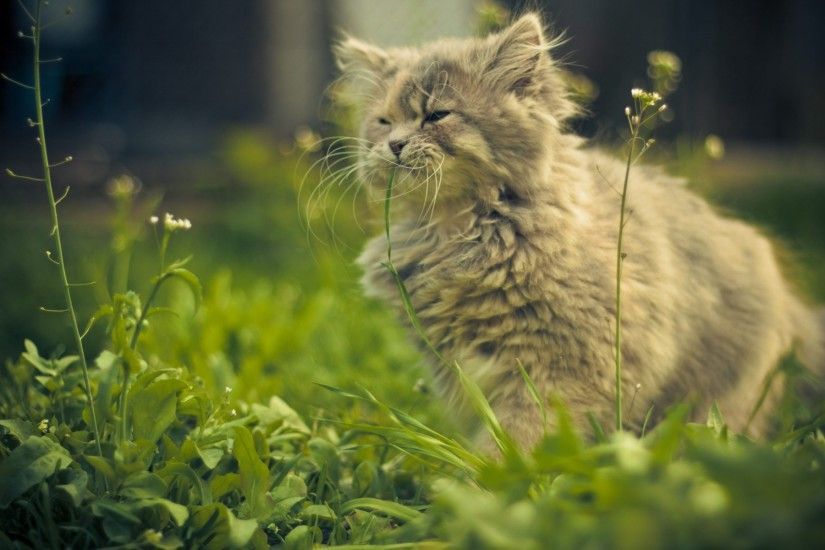Persian Cat Wallpapers THIS Wallpaper · Persian CatsFunny KittensFluffy ...