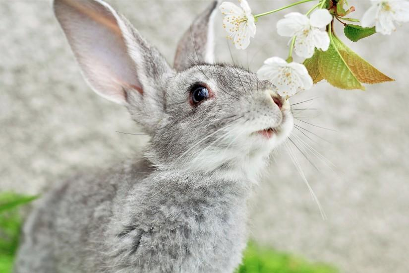 Grey rabbit Wallpapers Pictures Photos Images. Â«