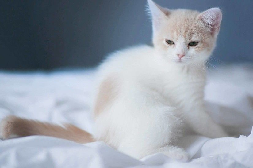 Cute White Cat (42 Wallpapers)