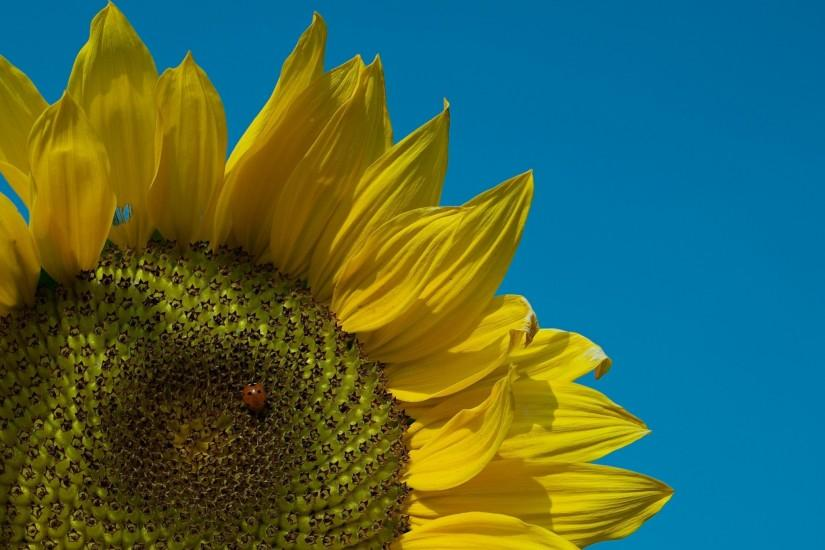 sunflower screen backgrounds free