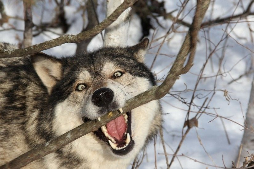 Preview wallpaper wolf, branch, teeth, dog, predator 1920x1080