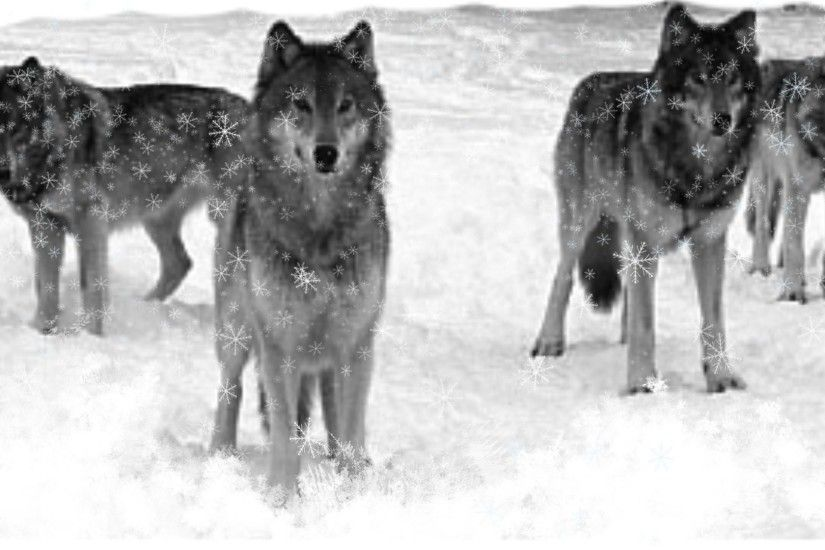 Wolves Winter