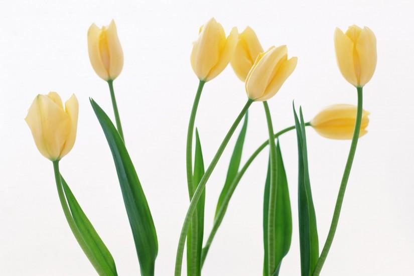 2950x2070 Wallpaper tulips, flowers, yellow, several, white background