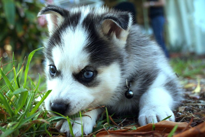 HD Wallpaper | Background ID:431813. 2880x1800 Animal Siberian Husky. 18  Like. Favorite