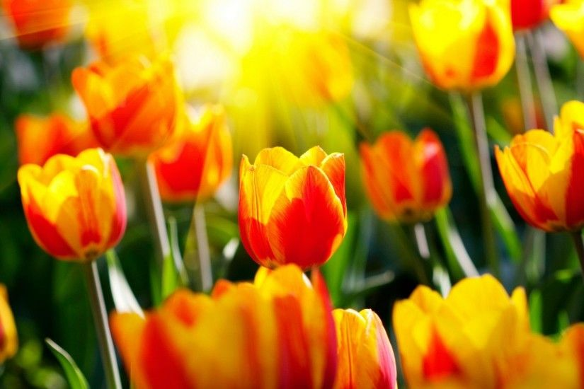 #EEDD11 Color - Red Flowers Sunlight Tulips Field Beauty Sun Nature Yellow  Jacquelinela Jasmine Flower