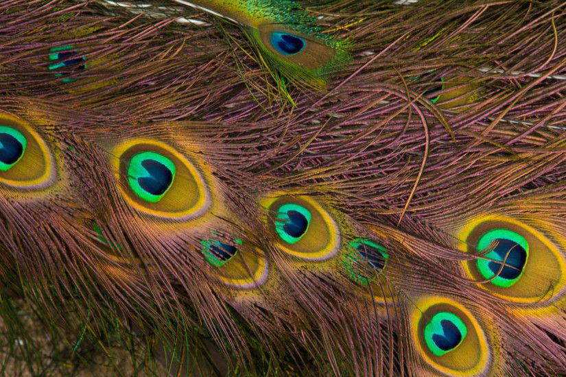 wallpaper.wiki-Free-Download-Peacock-Feathers-Photo-PIC-