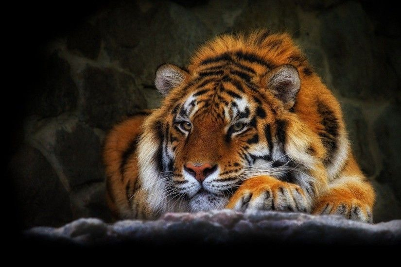 Hot tiger wild cat black background