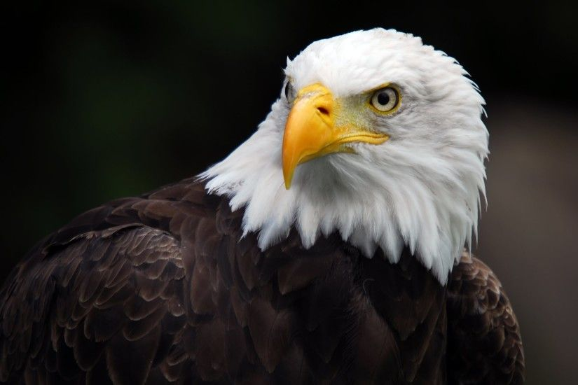 ... American Bald Eagle Wallpapers - Wallpaper Cave Bald Eagle Desktop ...
