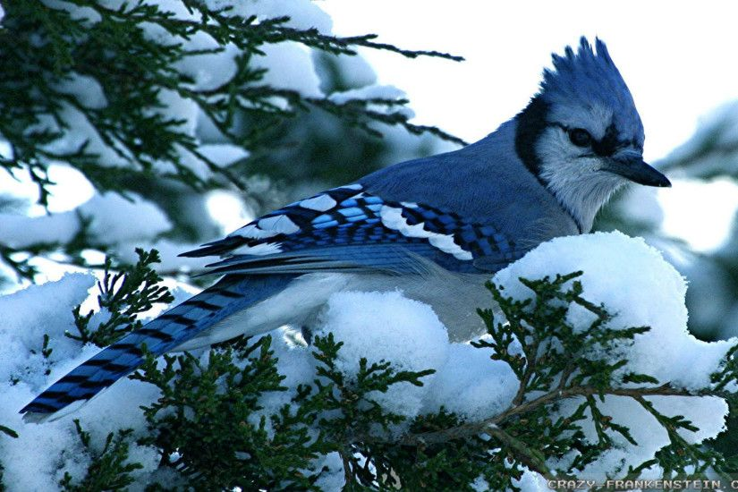 blue jay winter birds desktop wallpaper download blue jay winter birds  1920x1200