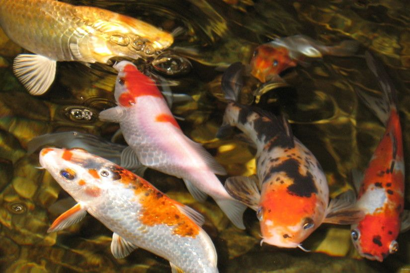 Koi Fish In The Pond for 2560x1440